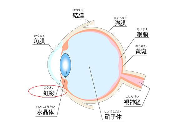 目の構造 虹彩