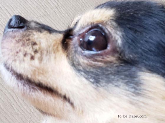 ものものらいが完治した犬の目