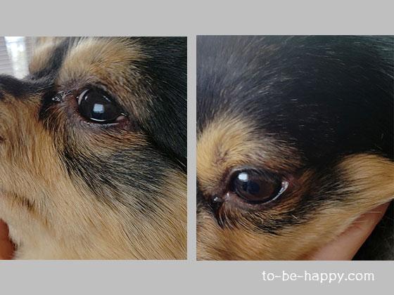 ものもらいを治療中の愛犬