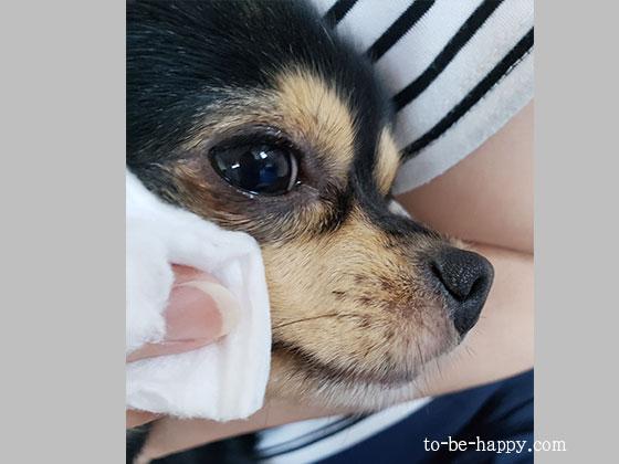 犬の涙やけ、抜け毛、かゆみに温泉化粧水でケア
